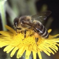 3 Go-To Honey Bee Resources for Teachers